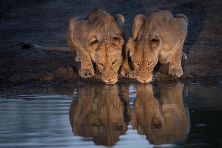 zwei Löwen trinken am Wasserloch